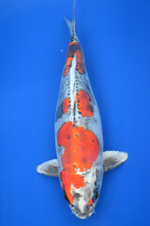 1 japanese koi sale for Show koi for sale