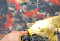 Best Source for Japanese Koi in Southern California