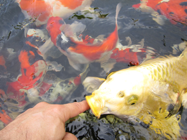 Best source for japanese koi in southern california for Top japanese koi breeders