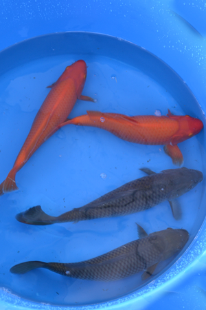 Japanese koi sale 200 dollar range japanese koi importer for Benigoi koi for sale