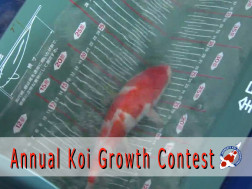 Annual Koi Growth Contest