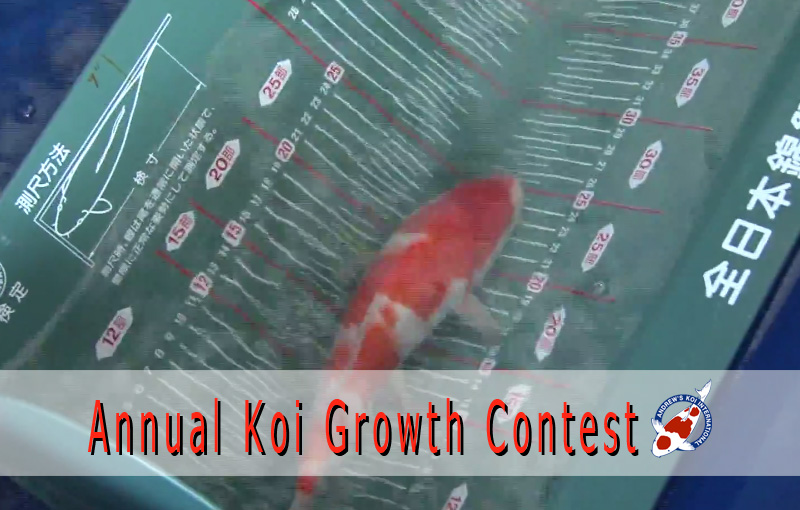 annual koi growth contest japanese koi importer show