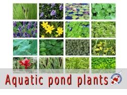 Aquatic pond plants for sale japanese koi importer for Koi fish pond plants