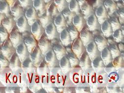 Koi Variety Guide
