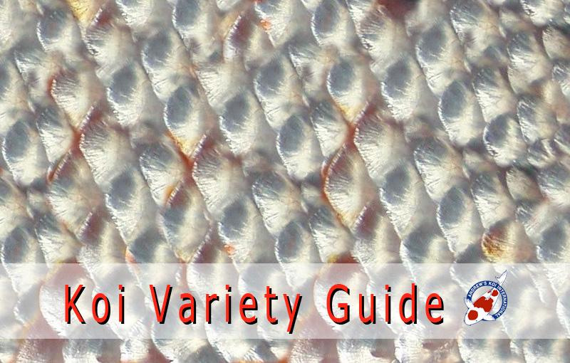 Koi variety guide japanese koi importer show quality for Variete koi