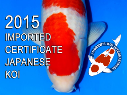 2015 Imported Certificate Japanese Koi on Sale NOW