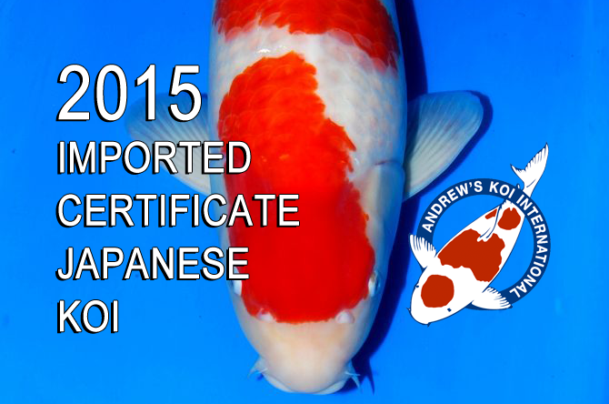 2015 imported certificate japanese koi on sale now for Grand champion koi for sale