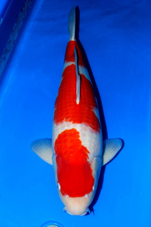 Sakai certificate koi japanese koi importer show for Sakai koi for sale