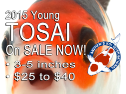 Early 2015 spring shipment for young Tosai Koi