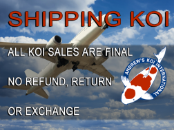 Shipping Koi andrew's koi international