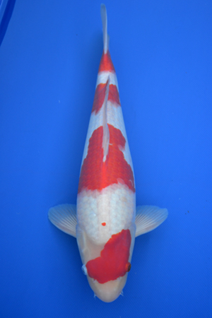 mixed breeder koi