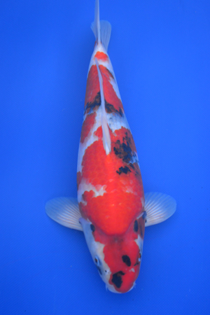 mixed breeder koi showa
