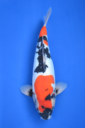 Imported japanese koi for sale rachael edwards for Koi for sale san diego