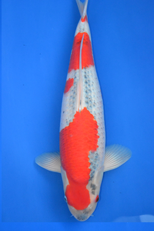 goshiki hiroi