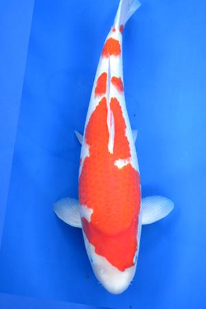 Kohaku by Ogata