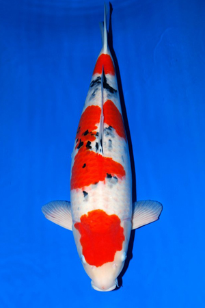 New imported japanese koi for 2015 2016 for Sakai koi for sale
