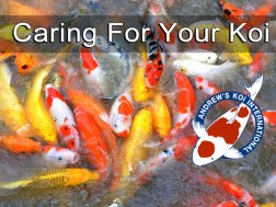 Caring For Your Koi