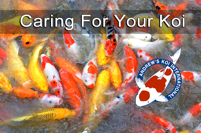 What you should know about caring for your koi for Keeping koi